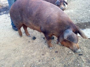 Red Wattle Pig at Wholesome Valley Farm in Holmes County, Ohio