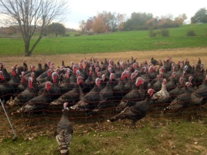 fresh fork market turkeys