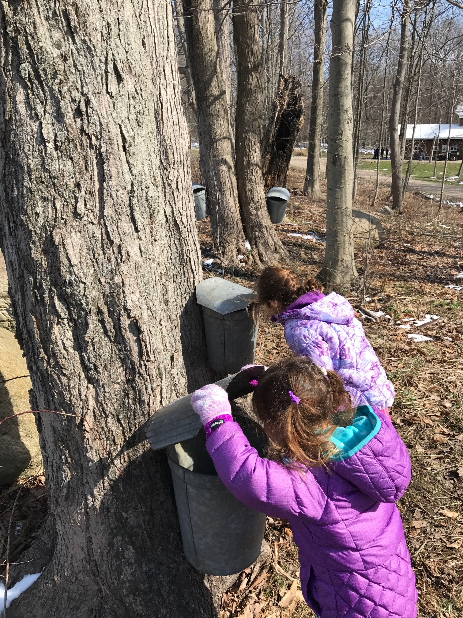 from sap to stack ohio maple syrup cheftovers